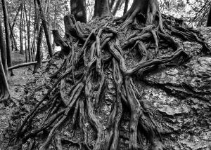 Tree Roots image by Paul Cannon